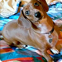 Adopt A Pet :: Lola mini dachshund - Sacramento, CA
