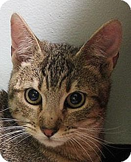 Domestic Shorthair Cat for adoption in Morgan Hill, California - Fauvi