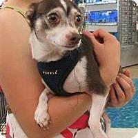 Adopt A Pet :: Conrad - House Springs, MO