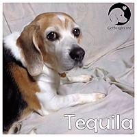 Adopt A Pet :: Tequilla - Pittsburgh, PA