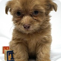 Adopt A Pet :: Lil'Rufus - Simi Valley, CA