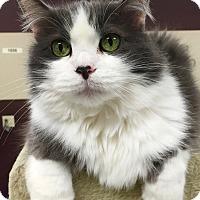 Adopt A Pet :: Tiddles - Palatine, IL