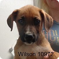 Adopt A Pet :: Wilson - baltimore, MD