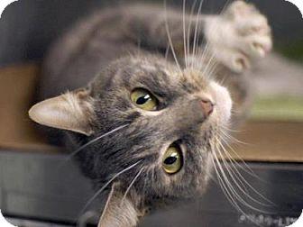 Domestic Shorthair Cat for adoption in New York, New York - Rosie