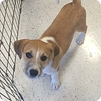 Adopt A Pet :: Bridger IN CT - Manchester, CT