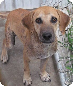 Mountain Cur Mix Dog for adoption in Tahlequah, Oklahoma - Dexter