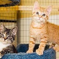 Domestic Shorthair Kitten for adoption in Seville, Ohio - Petco Kittens