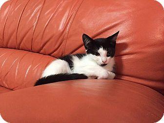 Domestic Shorthair Kitten for adoption in Staten Island, New York - Stella