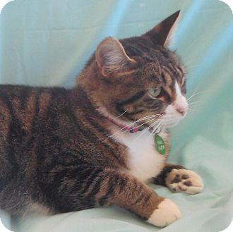 Domestic Shorthair Cat for adoption in Alexandria, Minnesota - Aloe