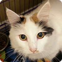 Maine Coon Cat for adoption in Lexington, Kentucky - Libby