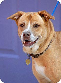 Labrador Retriever/Shepherd (Unknown Type) Mix Dog for adoption in Pottsville, Pennsylvania - Amber