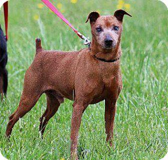 Miniature Pinscher Dog for adoption in Queenstown, Maryland - Rocky