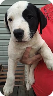 """Labrador Retriever/Pointer Mix Puppy for adoption in Allentown, New Jersey - The """"A"""" Litter"""