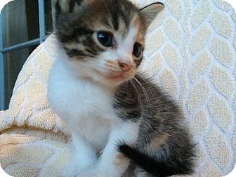 Domestic Shorthair Kitten for adoption in Houston, Texas - Darla