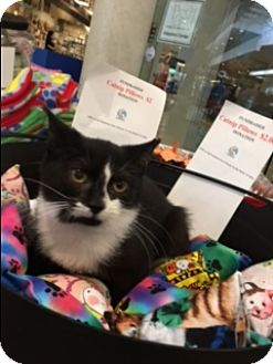 Domestic Shorthair Kitten for adoption in Spring Brook, New York - Mya