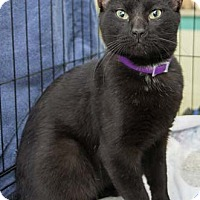 Domestic Shorthair Cat for adoption in Merrifield, Virginia - Miller