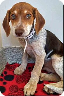 Hound (Unknown Type) Mix Puppy for adoption in Gahanna, Ohio - Taliesin