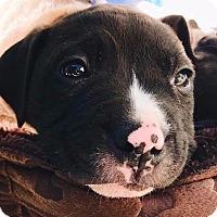 Adopt A Pet :: Coco - San Ramon, CA