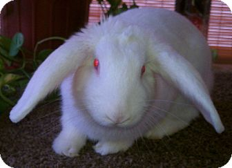 Mini Lop Mix for adoption in Williston, Florida - Miracle Babes