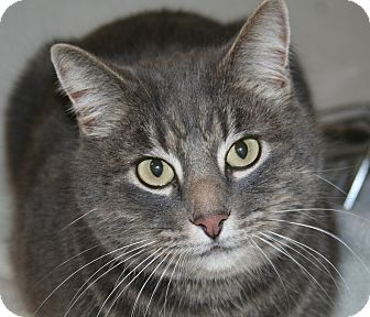 Domestic Shorthair Cat for adoption in Edmonton, Alberta - Gray