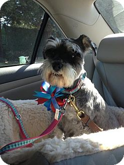 Schnauzer (Miniature) Dog for adoption in San Francisco, California - Sophie