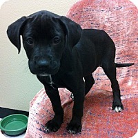 Adopt A Pet :: Lavoix - Gilbert, AZ