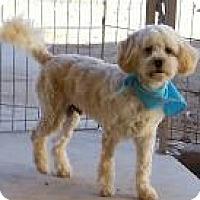 Adopt A Pet :: Quince  NON SHED! - Phoenix, AZ