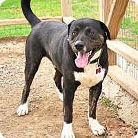 Labrador Retriever Mix Dog for adoption in Union City, Tennessee - Phoenix