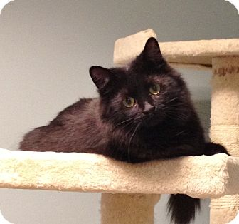 Domestic Mediumhair Kitten for adoption in Byron Center, Michigan - Kelly Anne