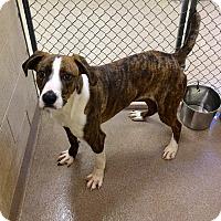 Adopt A Pet :: 1-8 Sparky - Triadelphia, WV