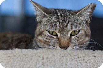 Domestic Shorthair Cat for adoption in Bradenton, Florida - Ginny