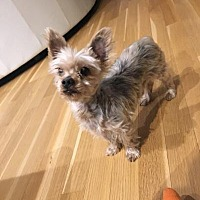 Yorkie, Yorkshire Terrier Dog for adoption in Plainview, New York - Echo
