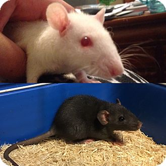 Rat for adoption in Rochester, New York - Marie / Cher