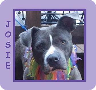 "Staffordshire Bull Terrier/Terrier (Unknown Type, Medium) Mix Dog for adoption in Dallas, North Carolina - JOSIE ""JOJO"""