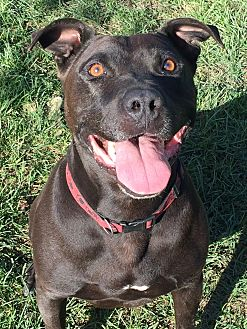 Labrador Retriever/American Pit Bull Terrier Mix Dog for adoption in Ojai, California - BIJOU