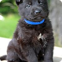 Adopt A Pet :: Issac - Waldorf, MD