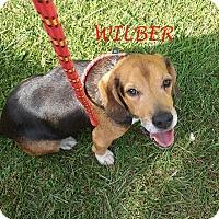 Adopt A Pet :: WILBER - Ventnor City, NJ