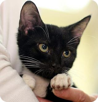 Domestic Shorthair Cat for adoption in New York, New York - Rosie