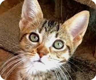 Domestic Shorthair Cat for adoption in LaJolla, California - Kona