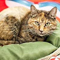 Domestic Shorthair Cat for adoption in Denver, Colorado - Paris