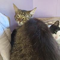 Adopt A Pet :: Boz - Coos Bay, OR