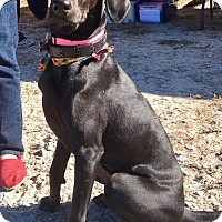 Labrador Retriever/Greyhound Mix Dog for adoption in Cumming, Georgia - Onyx