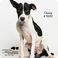 Adopt A Pet :: Champ - Baton Rouge, LA