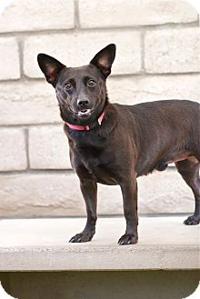 Basenji/Dachshund Mix Dog for adoption in Coronado, California - Benny