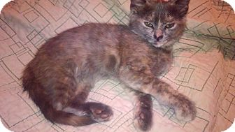 Domestic Shorthair Kitten for adoption in Baltimore, Maryland - Adele (COURTESY POST)