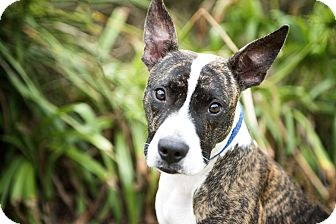 American Staffordshire Terrier/Plott Hound Mix Dog for adoption in Vancouver, British Columbia - Maggie May