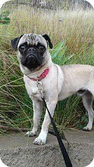 Pug Puppy for adoption in Santa Monica, California - ROCKY