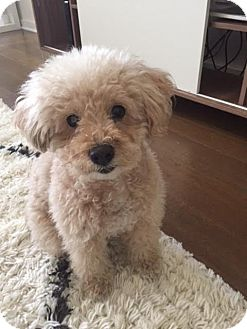 Poodle (Miniature)/Lhasa Apso Mix Dog for adoption in Los Angeles, California - Sammi