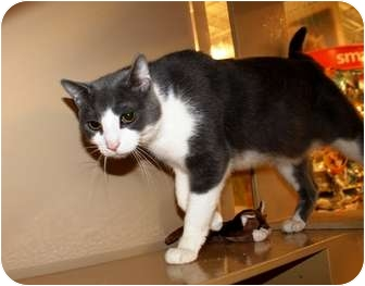 Domestic Shorthair Cat for adoption in Nolensville, Tennessee - Wilhelm