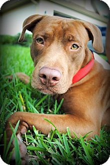 Labrador Retriever/Vizsla Mix Dog for adoption in Orlando, Florida - Tribute